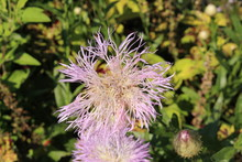 """Cream Colored """"American Basketflower"""" (or American Starthistle) In Munich, Germany. Its Scientific Name Is Centaurea Americana, Native To USA And Mexico."""