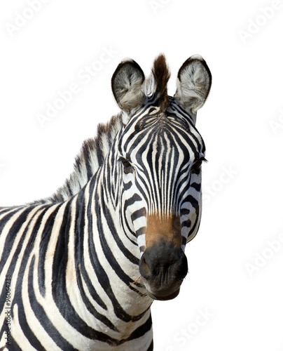 Aluminium Prints Zebra Zebra on white background