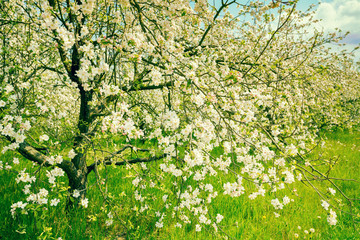 Fototapeta Do sypialni Blossoming apple orchard