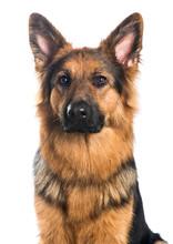 German Shepherd Dog Portrait On A White Background
