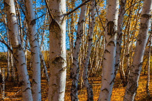 beautiful birch grove by a autumn day