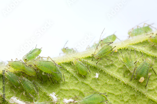 Many aphids on leaf Canvas Print