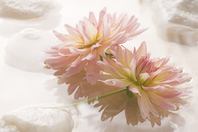 Pink Dahlia Floating On Water With Rocks.