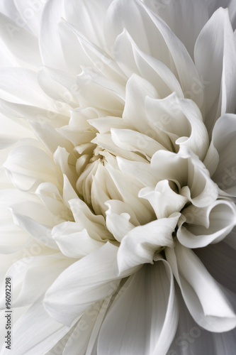 Poster  white dahlia and light