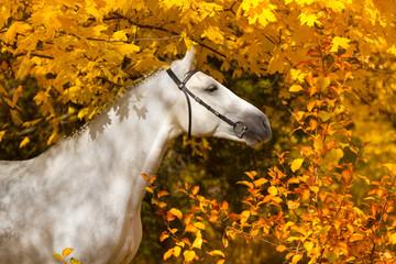 Obraz Portrait of beautiful white horse in orange leaves in fall