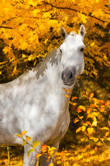 Fototapeta Koń Portrait of beautiful white horse in orange leaves in fall