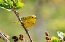A Male Yellow Warbler Perching...