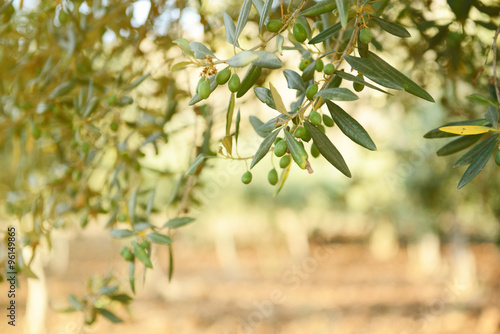 Fotomural Olive trees garden, mediterranean olive field ready for harvest.