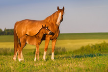 Mare With Colt In Beautiful Fi...