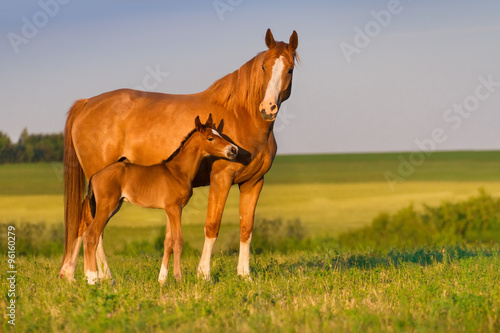 Fotografie, Obraz Mare with colt in beautiful field