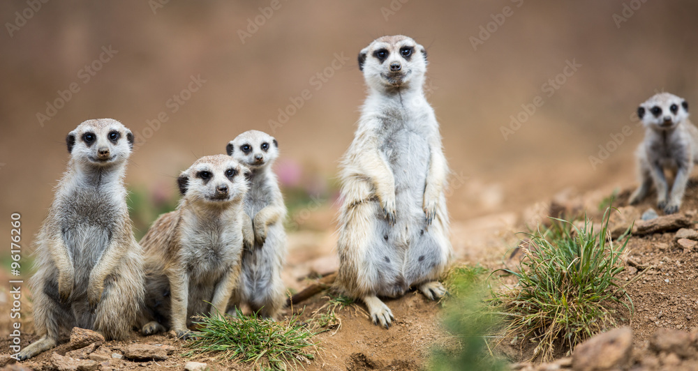 einzelne bedruckte Lamellen - Watchful meerkats standing guard