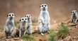 canvas print picture - Watchful meerkats standing guard
