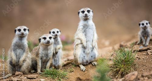Obraz na plátně Watchful meerkats standing guard