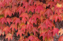 Autumnal Leaves Of Boston Ivy (Parthenocissus Tricuspidata) Climbing Over A Concrete Wall