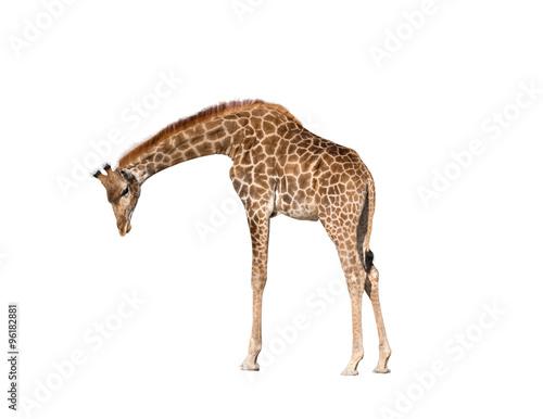 Giraffe isolated on white background Wallpaper Mural