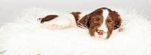 Dog Sleeping On Fur Over White...