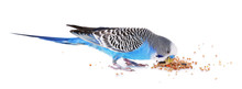 Budgerigar Eating Isolated On ...