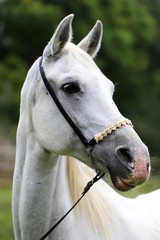 FototapetaSide view portrait of a purebred young arabian horse