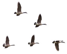 Canada Geese Flying On A White...
