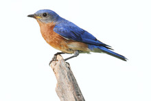 Isolated Bluebird On A Perch W...