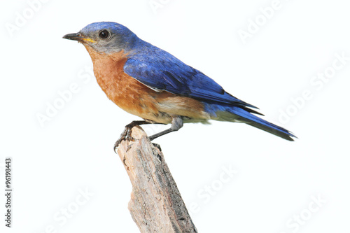 Fényképezés Isolated Bluebird On A Perch With A White Background