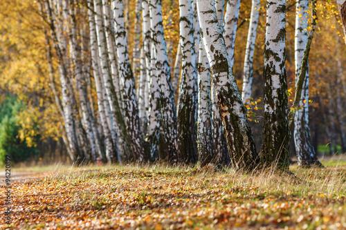 Papiers peints Bosquet de bouleaux Autumn, birch grove