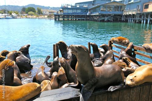 Fototapeta premium kolonia lwów morskich