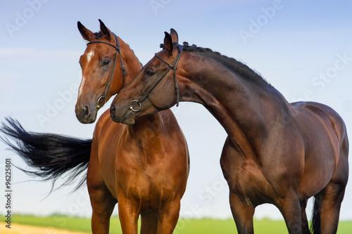 Two beautiful bay horse couple portrait against blue sky Tablou Canvas