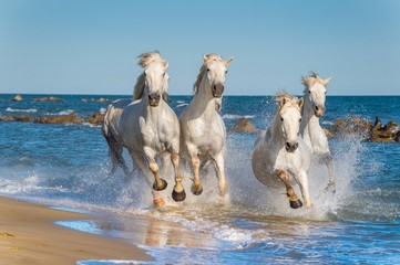 Herd of White Camargue Horses fast running through water in suns