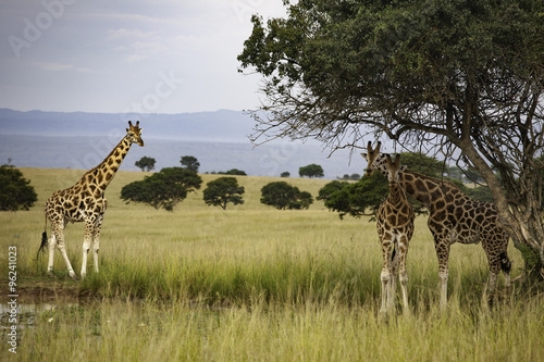 Giraffes at water hole at Murchison Falls National Park, Uganda