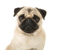 Pug Dog Portrait Isolated On A White Background