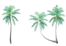 Coconut Tree,palm Tree Isolated On White Background,vector Illustration