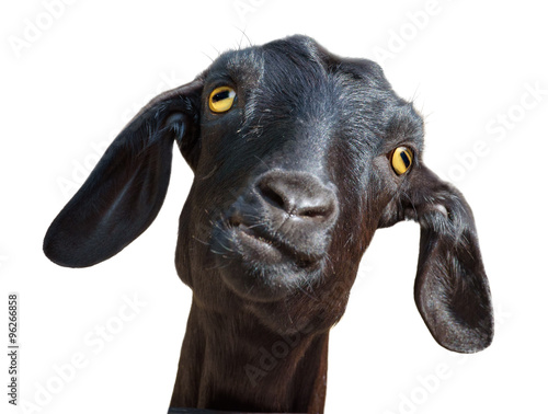Fényképezés Black goat isolated with clipping path