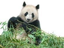Panda Eating Bamboo Leaves Iso...