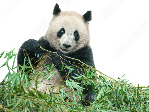 Panda eating bamboo leaves isolated with clipping path Canvas Print