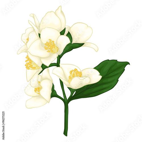 Photo  beautiful jasmine branch isolated on white background.