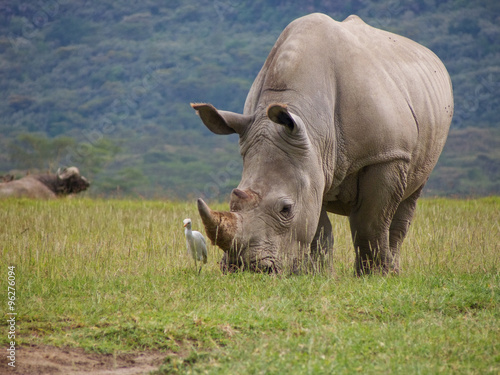 Fotobehang Neushoorn wild white rhinoceros grazing grass with cattle hegret