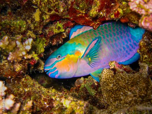 Onder water Parrotfish