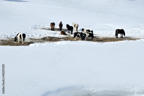 herd of horses in the snow