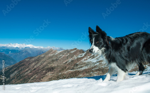 Cuadros en Lienzo Border Collie alone  in the top of the mountain with snow