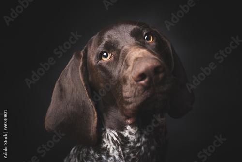 Plakát  German shepherd dog studio portrait over black background