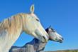 chevaux camarguais blanc et gris
