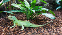 Green Water Dragon. Chinese Water Dragon. Physignathus Cocincinu