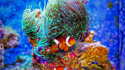 Aluminium Prints Coral reefs Clownfish in marine aquarium