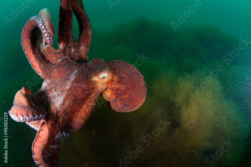 Gigant octopus in the deep.