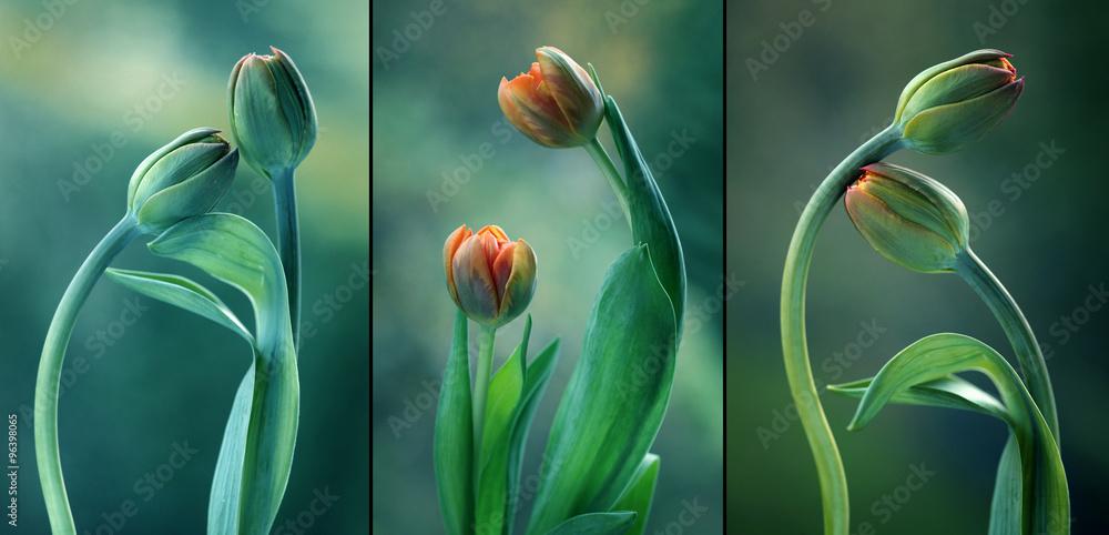 Fototapety, obrazy: Zielone tulipany - tryptyk