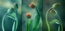 Zielone Tulipany - Tryptyk