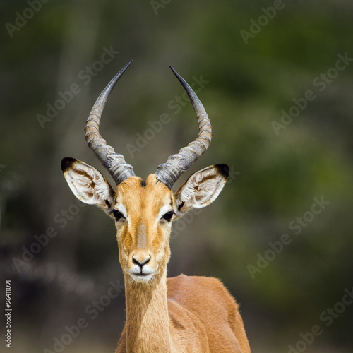 Poster Antilope Impala in Kruger National park