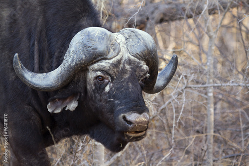 Fototapety, obrazy: African buffalo in Kruger National park