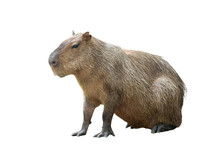Capybara Isolated